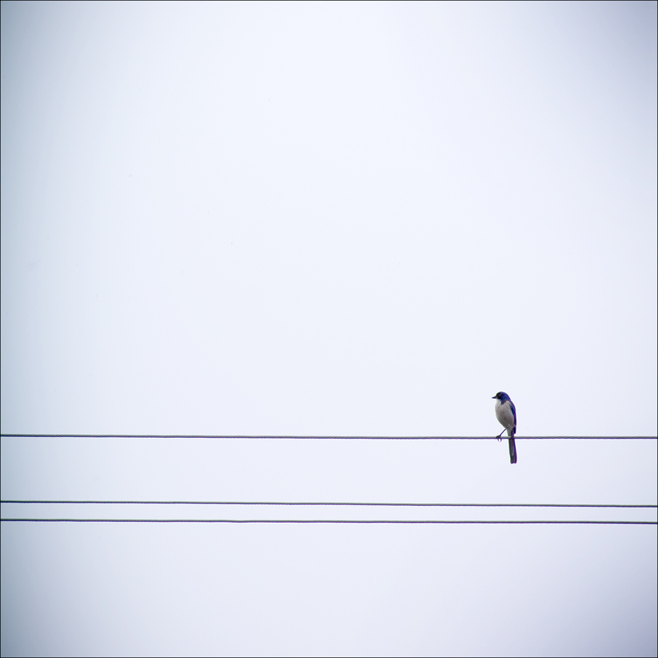 Bird_Wire4_blue