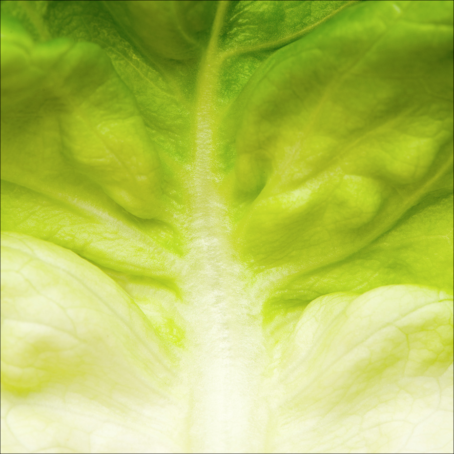 Green Lettuce Leaf