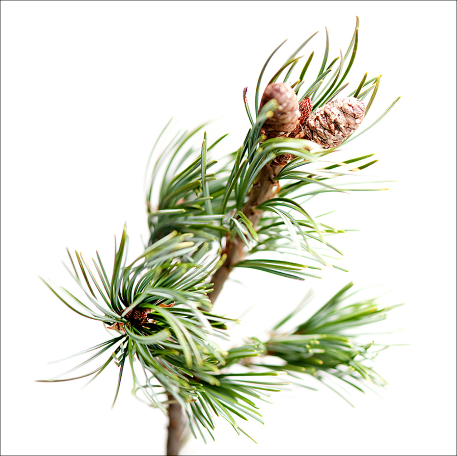 Green Pine branch and cones.